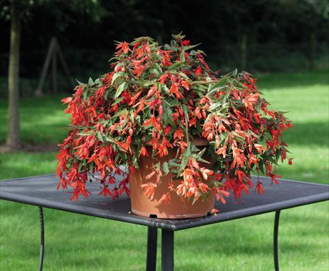photo of flower to be used as: Bedding pot or basket Begonia boliviensis Bossa Nova Orange Shades
