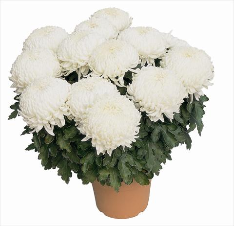 photo of flower to be used as: Pot Chrysanthemum Malibu