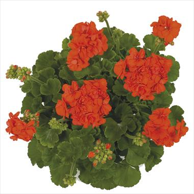 photo of flower to be used as: Basket / Pot Pelargonium zonale Giano